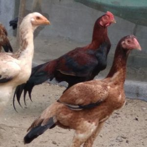 Godavari Fighter Breed Hen