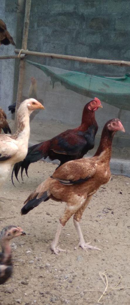 Godavari Fighter Breed Hen