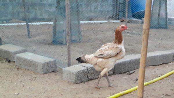 Andhra Cock