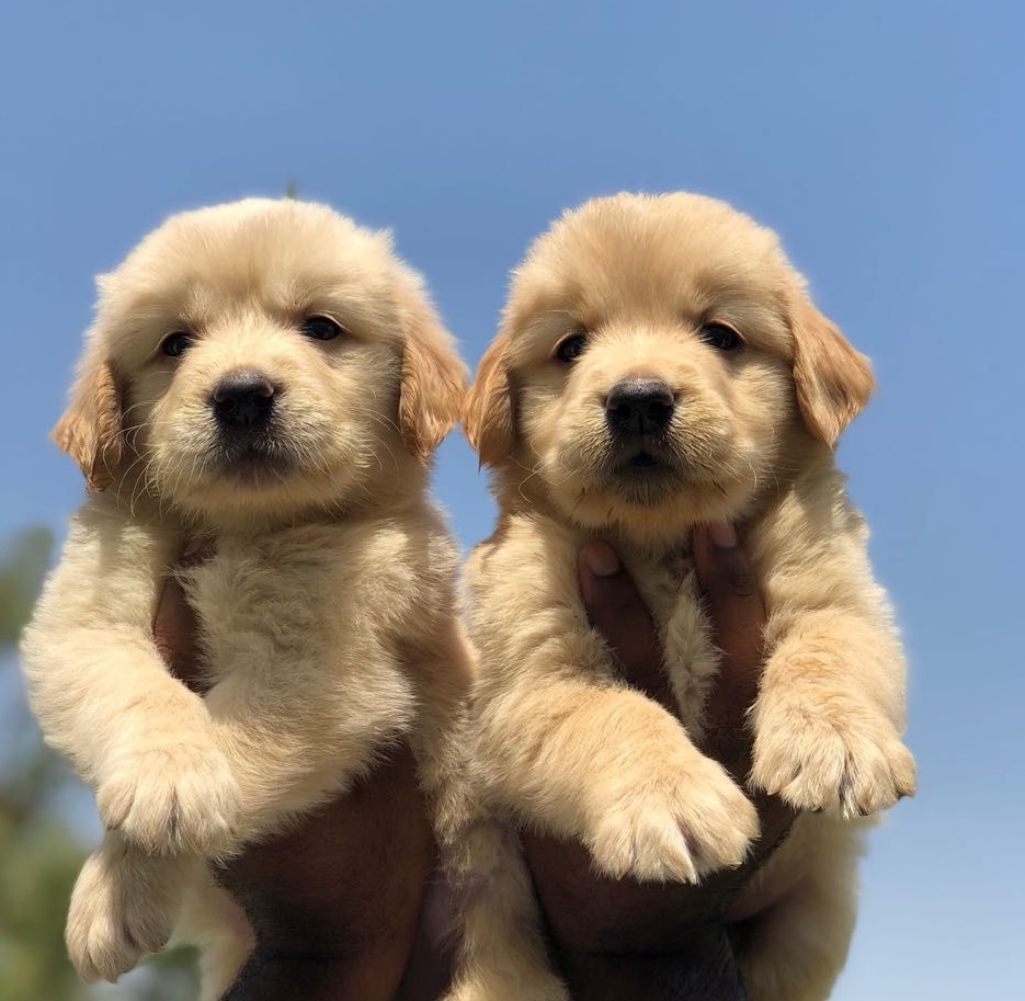 Gun Dog Golden Retriever Puppies For Sale